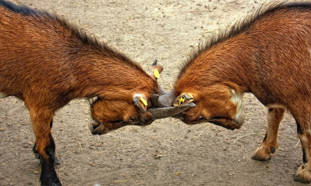 lock-horns